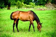 Un cavallo che mangia erba Immagine Stock