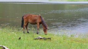 Un cavallo che mangia erba Fotografie Stock Libere da Diritti