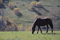 Un cavallo che pasce Immagini Stock