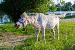 Un cavallo combatte con una mosca Immagine Stock