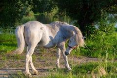 Un cavallo combatte con una mosca Fotografia Stock