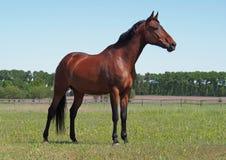 Un cavallo di baia è su uno sfondo naturale Fotografia Stock