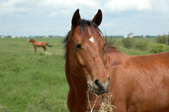 Un cavallo di baia Fotografia Stock Libera da Diritti