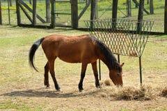 Un cavallo di Brown che mangia fieno all'azienda agricola da solo fotografia stock libera da diritti