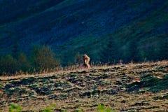 Un cavallo fissare in Islanda Fotografia Stock