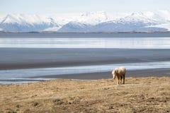 Un cavallo islandese Fotografie Stock
