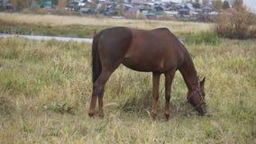 Un cavallo marrone pasce e mangia archivi video