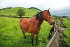 Un cavallo marrone sta su un campo verde contro un fondo di legno verde Fotografia Stock Libera da Diritti
