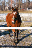 Un cavallo marrone sul recinto chiuso immagine stock libera da diritti