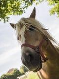 Un cavallo molto curioso Immagini Stock Libere da Diritti