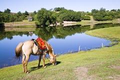 Un cavallo nella parte anteriore del lago Immagine Stock Libera da Diritti