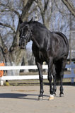 Un cavallo nero Fotografia Stock