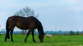 Un cavallo nero che mangia erba sulla pianura di Giethoorn, Paesi Bassi fotografie stock