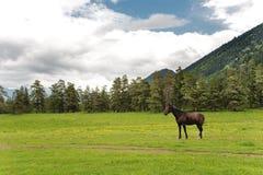 Un cavallo nero sta su un campo verde contro un fondo della foresta della montagna e si appanna il cielo Fotografie Stock Libere da Diritti