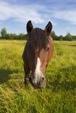 Un cavallo pasce su un prato Fotografia Stock Libera da Diritti