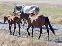 Un cavallo in un pascolo nel deserto Immagine Stock Libera da Diritti