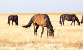 Un cavallo in un pascolo nel deserto Fotografie Stock