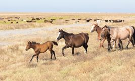 Un cavallo in un pascolo nel deserto Immagini Stock Libere da Diritti