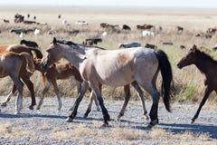 Un cavallo in un pascolo nel deserto Fotografia Stock