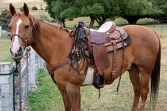 Un cavallo quarto che aspetta pazientemente per andare lavorare. fotografia stock