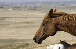 Un cavallo riposa in un pascolo (colpo in testa) Fotografia Stock