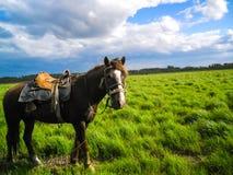 Un cavallo sellato sta in un campo verde fotografia stock libera da diritti