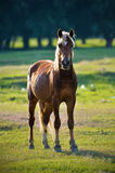 Un cavallo selvaggio Fotografie Stock