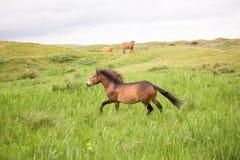 Un cavallo selvaggio che corre sull'isola olandese di texel fotografia stock