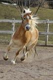 Un cavallo selvaggio del palomino Fotografia Stock
