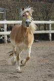 Un cavallo selvaggio del palomino Immagini Stock