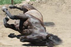 Un rotolamento del cavallo. Immagine Stock