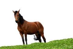 Un cavallo su bianco Fotografie Stock Libere da Diritti