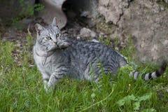 Un cazador del gato con el ratón de la captura Imagenes de archivo