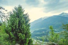 Un cedro Himalayan verde joven en el fondo de las montañas y del valle de Kullu Fotografía de archivo libre de regalías
