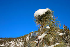 Un cedro joven en casquillo de la nieve imagen de archivo