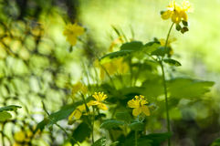 Un celandine plus grand Photos libres de droits