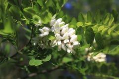 Un cepillo de los flores del acacia Foto de archivo libre de regalías