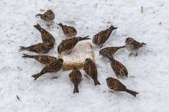 Un cercle d'hiver des moineaux dans la neige Photos stock