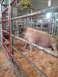 Un cerdo Imágenes de archivo libres de regalías