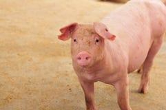 Un cerdo femenino Fotos de archivo libres de regalías
