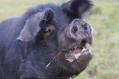 Un cerdo grande con una boca abierta fotos de archivo