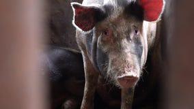 Un cerdo grande en una pocilga mira directamente la cámara, una opinión el cerdo entre las barras de la cerca metrajes