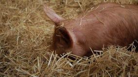 Un cerdo miente en heno y cava un hocico en él almacen de metraje de vídeo
