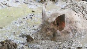 Un cerdo que duerme en agua fangosa almacen de metraje de vídeo
