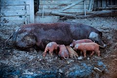 Un cerdo rojo grande de la raza del Duroc-Jersey alimenta los cochinillos El concepto de maternidad feliz en animales imagenes de archivo
