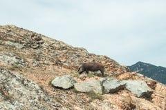 Un cerdo salvaje en rocas en las montañas de Gennargentu, Cerdeña, Italia fotografía de archivo