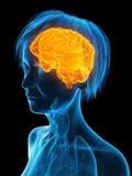 Un cerebro más viejo de las hembras ilustración del vector