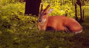 Un cerf commun Photo stock