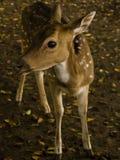 Un cerf commun Images stock