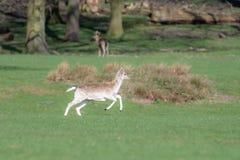 Un cerf commun affriché femelle fonctionnant par un champ herbeux photos stock